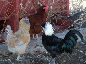 Farm Hens and Brigid Greene in the Flint Hills