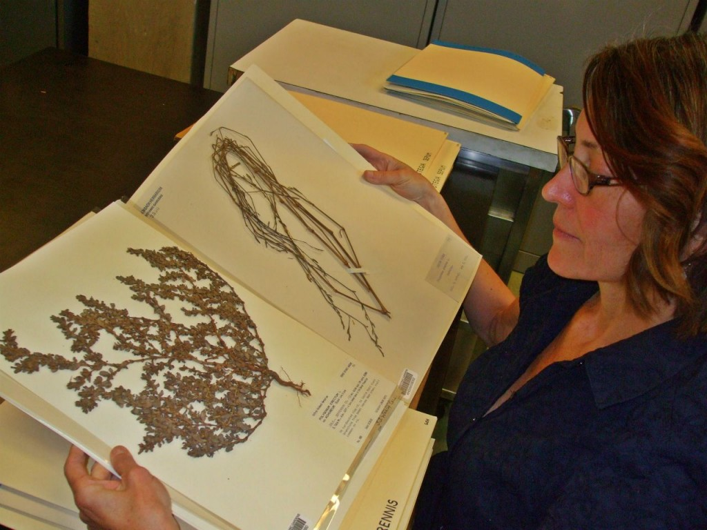 Brigid Greene at the Denver Botanical Garden Herbarium